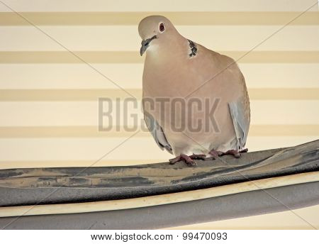 Eurasian Collared Dove In Urban Environment