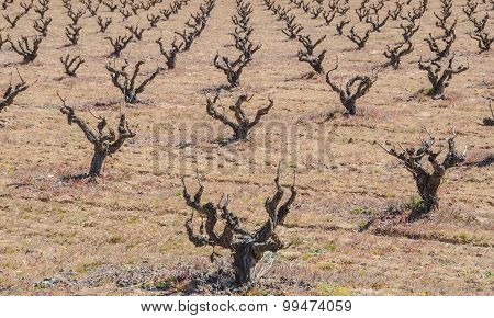 Dried Vines In The Field
