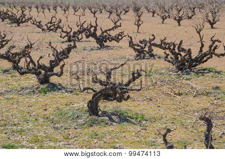 Dry Vines