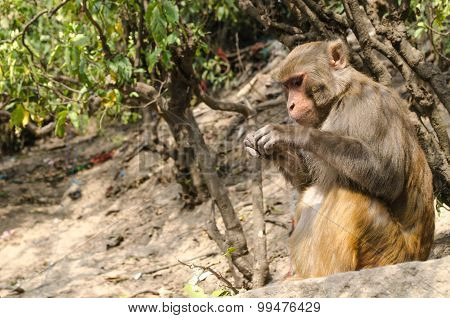 Monkey Is Live In Tree , Temple