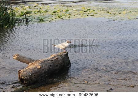 Seagull on the log