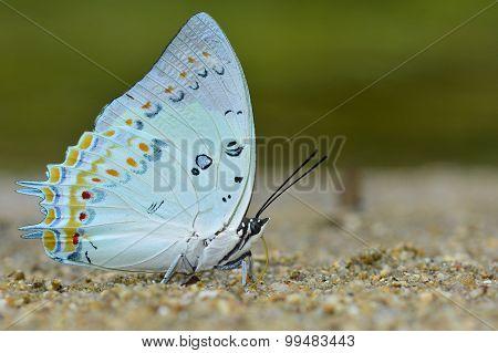 Polyura Delphis