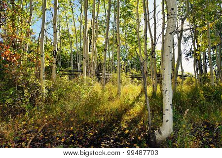 Forest Of Yellow Aspens During The Foliage Season
