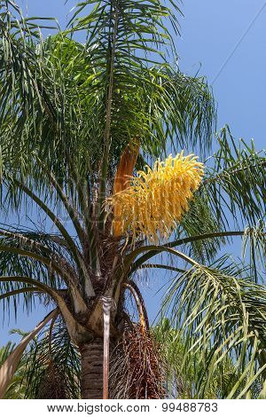 Beautiful flower of a palm against the blue sky. Spain.