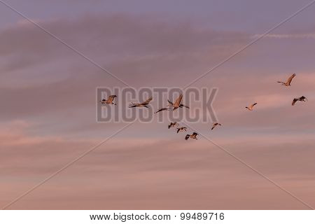 Sandhill Cranes Flying in the Sunrise