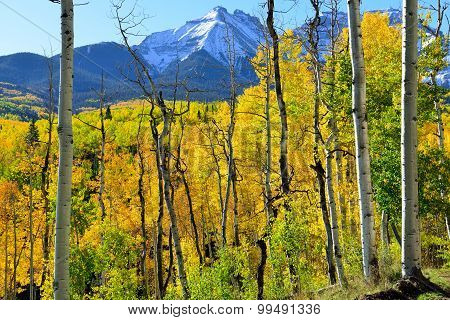 Yellow Aspen In Front Of The Mountains During The Foliage Season