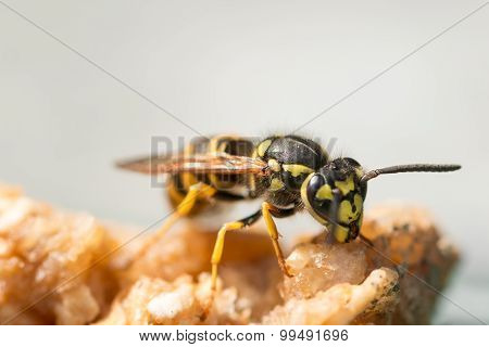 Wasp feeding on a piece of apple
