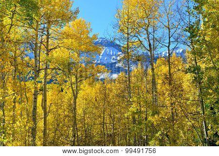 Yellow Aspen During The Foliage Season