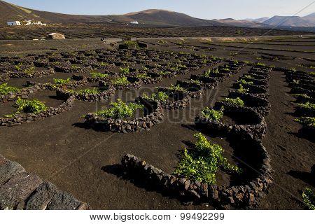 Cultivation Home Viticulture  Lanzarote Vine Screw Grapes   Barrel