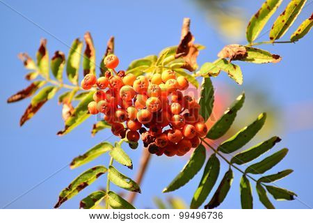 Rowan Berries In  Sunset Light