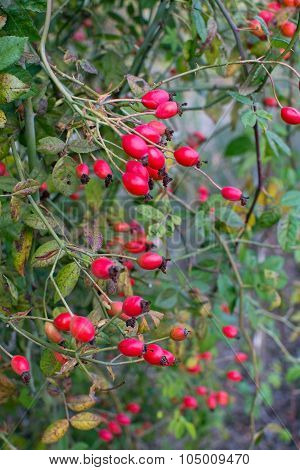 Red Hiprose Berries