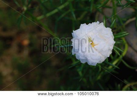 Beautiful White Moss-rose Flower