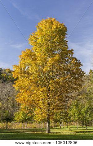 Yellow Autumn Maple Tree