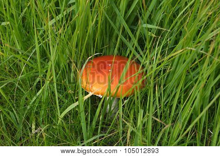 Fly agaric toadstool among the grass.
