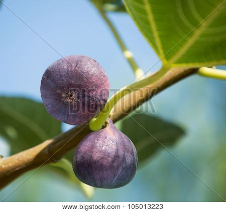 Ripe figs fruits on the tree. Closeup shot.