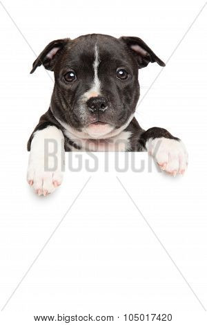 Staffordshire Bull Terrier Puppy Above Banner