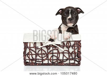 Staffordshire Bull Terrier Puppy In Basket
