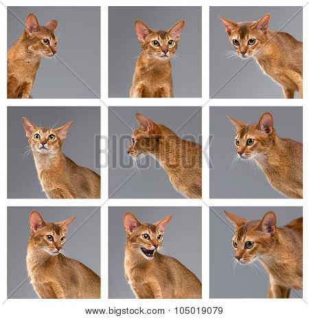 Purebred abyssinian young cat portrait on gray background