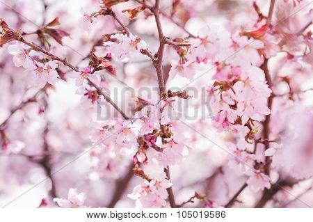 sakura flowers in bloom