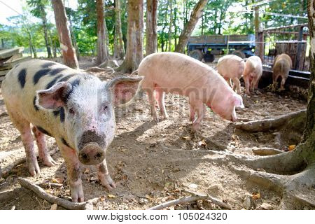 Grop Of Piglets On Farm, One Pig Looking In Camera