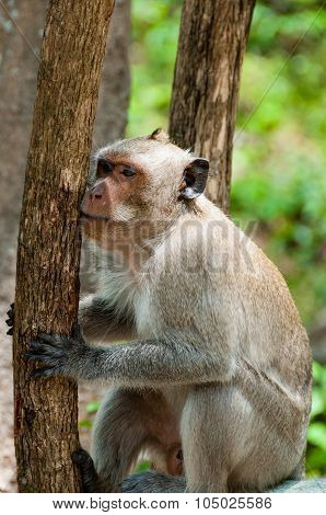 Monkey Rhesus Macaque holding a tree