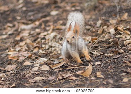 Cute Eurasian red squirrel in search of nuts on the ground