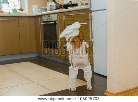Basenji dog is ready for assignment to an Under-chef
