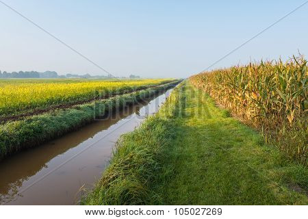 Ripening Fodder Maize And Rape Seed Plants