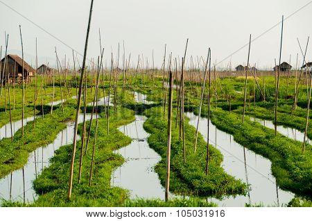 Floating garden of Inle Lake