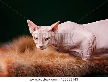 Beautiful pink sphynx cat portrait