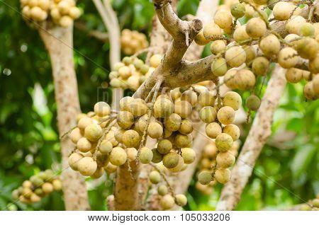 Wollongong Growing On Tree (lansium Domesticum)