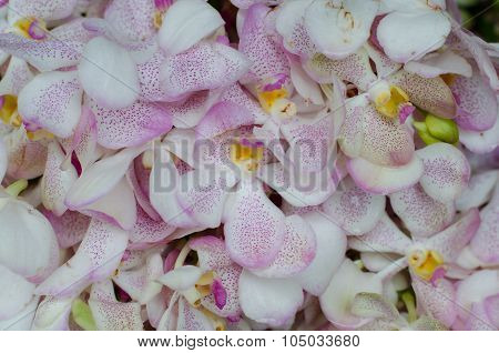 Beautiful White Orchid Background