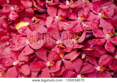 Beautiful Red Orchid Background