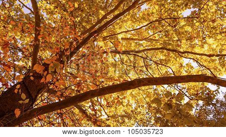 Autumn or Fall Sycamore Tree Canopy. Orange and Yellow Leaves.