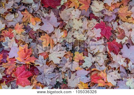 Autumn Leaves Closeup 4