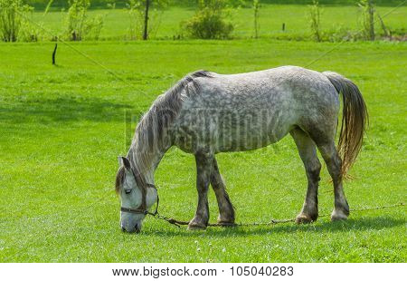 Dappled mare grazing on spring pasture