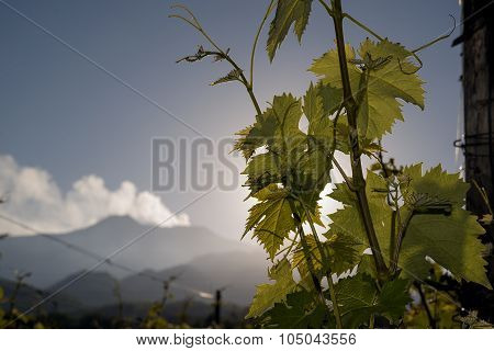 Vineyard With Etna Volcano In The Background.