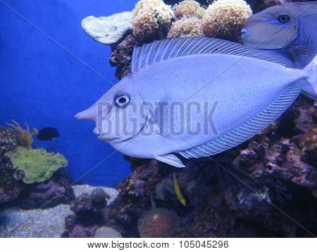 Nose fish in aquarium