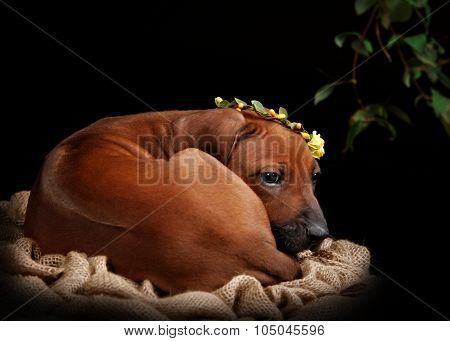 Rhodesian Ridgeback dog resting