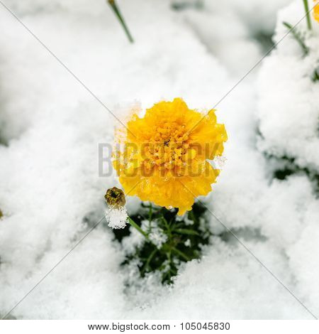 Yellow Flower Under First Snow On Flowerbed