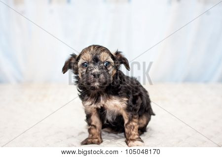 Chinese Puppy Dog