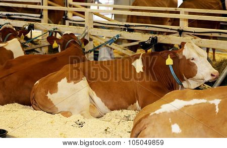 Young Cows Lying On A Dairy Farm