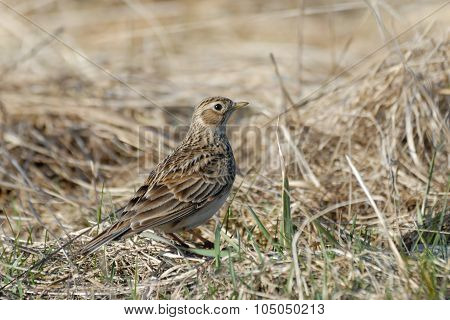 Eurasian Skylark In The Dry Grasses In Early Spring