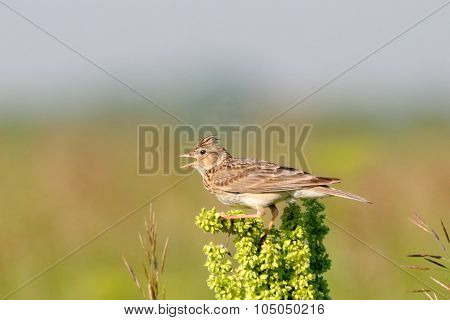 Singing Eurasian Skylark In The Meadow