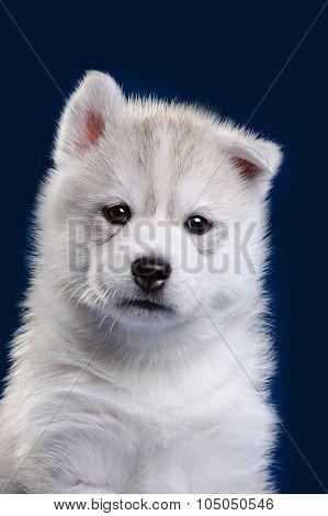 Cute little puppy of syberian husky