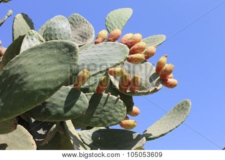 Edible prickly pear cactus with ripe fruits