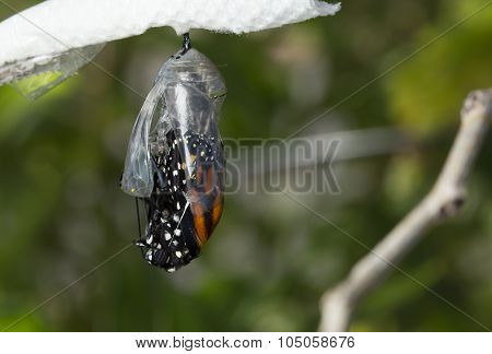 Butterfly Emerging Cocoon