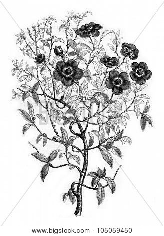 The Cistus, which produces ledanon or ladanum, vintage engraved illustration. Magasin Pittoresque 1882.