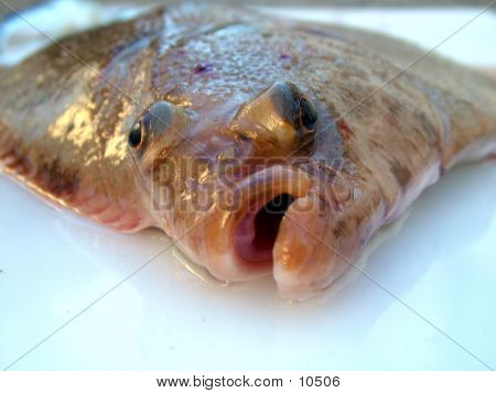 Plaice Face