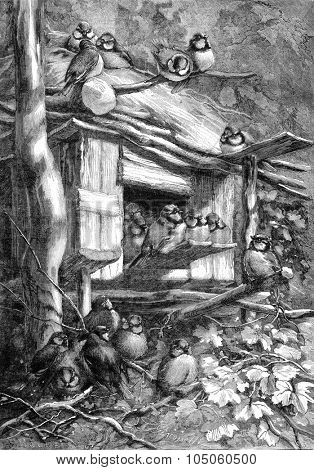 Aluri chickadees (Jura forest), vintage engraved illustration. Magasin Pittoresque (1882).